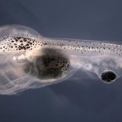 Blind tadpoles learn visually with eye grafted on tail