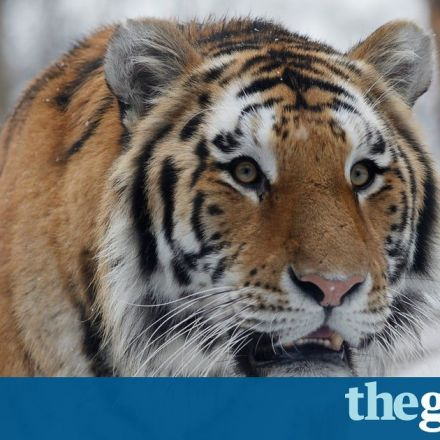 Anti-poaching drive brings Siberia's tigers back from brink
